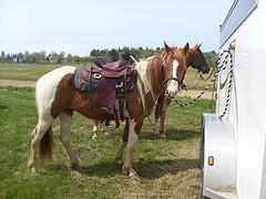 APHA and Arabian